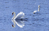 Swan lake — Stock Photo