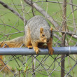Royalty-Free Stock Photo: Fox squirrel