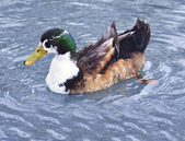 Beautiful colorful duck — Stock Photo