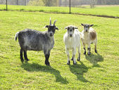 Goats in a farm — Stock Photo
