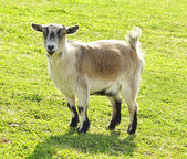 Goat on a field — Stock Photo