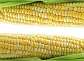 Fresh corn — Stock Photo