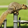 Fox squirrel — Stock Photo