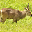 Waterbuck - Stock Photo