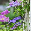 Clematis flowers — Stock Photo