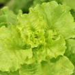 Lettuce in a garden — Stock Photo