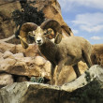 Desert Bighorn Sheep — Stock Photo