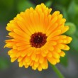 Royalty-Free Stock Photo: Calendula