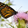 Monarch Butterfly — Foto Stock #6739609