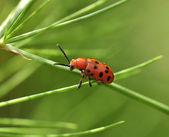 Rote Käfer — Stockfoto