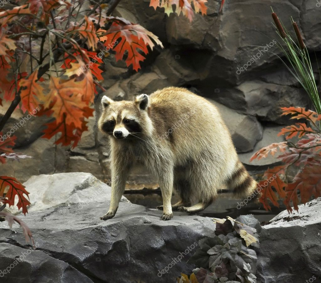 Raccoon on a stone  — Stock Photo #6739366