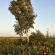 Birch tree — Stockfoto