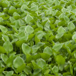 Water Hyacinth cover a pond - Foto de Stock  