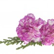 Two pink carnation on a white background — Stock Photo #6646436