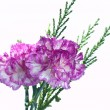 Two pink carnation on a white background - Stock Photo