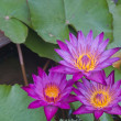 Three Pink lotus blossoms or water lily flowers blooming on pond — Stock Photo