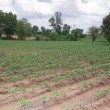 Cassava farm — Foto Stock