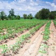 Cassava farm — Stock Photo