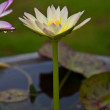 Yellow lotus blossoms or water lily flowers blooming on pond — Stock Photo