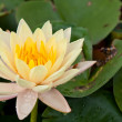 Lotus blossoms or water lily flowers blooming on pond — Stockfoto