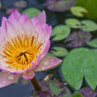Lotus blossoms or water lily flowers blooming on pond — Stock Photo #6647772