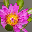 Lotus blossoms or water lily flowers blooming on pond — Stock Photo