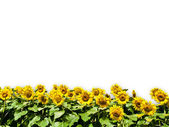 Sun Flower Isolated on White Background — Stock Photo