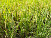 Green ricefield — Stock Photo