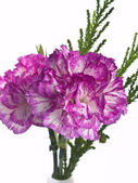 Two pink carnation on a white background — Stock Photo