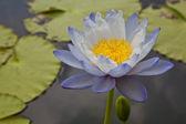 Lotus blossoms of water lily bloemen bloeien op vijver — Stockfoto