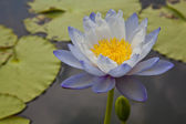 Lotus blossoms or water lily flowers blooming on pond — ストック写真