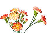 Group of Carnation, Dianthus caruyophyllus — Stock Photo