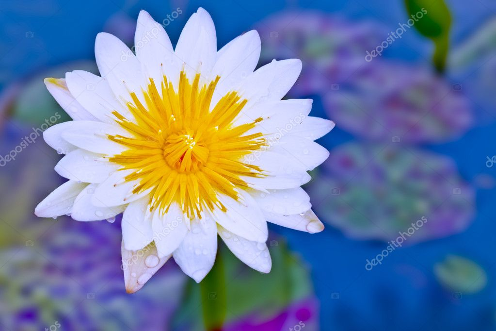 Lotus blossoms or water lily flowers blooming on pond — Stock Photo #6647795