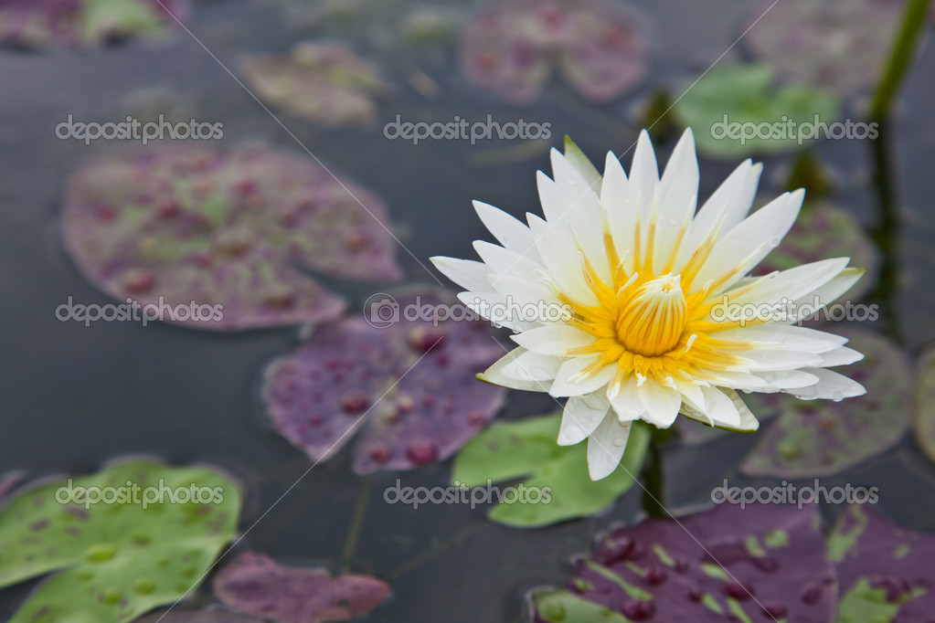 Lotus blossoms or water lily flowers blooming on pond  Stock Photo #6647926