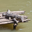 Monitor Lizard resting on a raft — Stock Photo