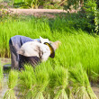 Farmer in rice field, Thailand — Stock Photo