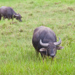Mammal animal, Thai buffalo in grass field — Stock Photo