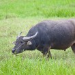 Stock Photo: Mammal animal, Thai buffalo in grass field