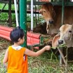 joven enviar hierba fresca de vaca para alimentar — Foto de Stock