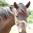Portrait Horse close up — ストック写真