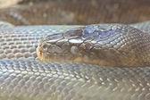 Snake, Macklot python, focus at eyes — Stock Photo