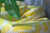 Snake, Golden Thai Python, focus at eyes — Stock Photo
