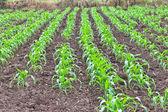 Corn field in Thailand — Stock Photo