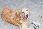 Kahverengi köpek, golden retriever ve futbol topu ile üzgün bakıyor, e — Stok fotoğraf