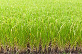 Paddy rice in field, Thailand — Stock Photo