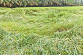 Rainstorm attacked paddy rice, thailand — Stock Photo