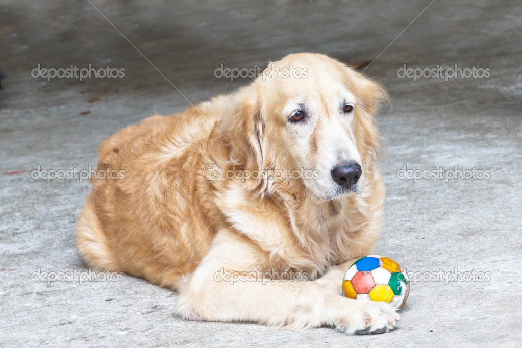 Dog, Golden Retriever and soccer ball,  looking with sad brown eyes — Stock Photo #6657430