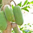 Fruit, Bunch of papaya hanging from the tree — Stock Photo