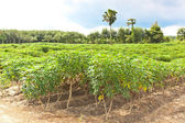 Agriculture, Cassava farm and plant growth — Stock Photo