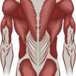 Illustration of the muscles of the back — Stock Vector